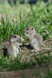 Two Cute Ground Squirrels Sharing a Scrumptious Meal Stock Image
