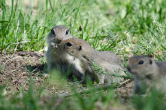 Two Cute Ground Squirrels Sharing a Scrumptious Meal Royalty Free Stock Photography