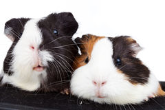 Two cute guinea pigs Stock Photography