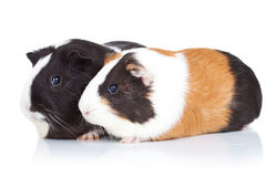 Two cute guinea pigs Royalty Free Stock Photography
