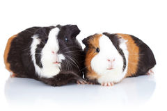 Two cute guinea pigs Royalty Free Stock Images