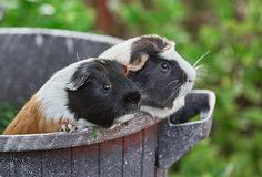 Two cute guinea pigs adorable american tricolored with swirl on head royalty free stock image