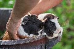 Two cute guinea pigs adorable american tricolored with swirl on head stock image