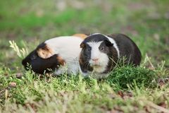 Two cute guinea pigs adorable american tricolored with swirl on head stock images