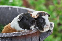 Two cute guinea pigs adorable american tricolored with swirl on head royalty free stock photos