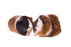 Two cute guinea pigs Royalty Free Stock Photo