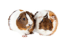 Two Cute Guinea Pigs Together Royalty Free Stock Photography