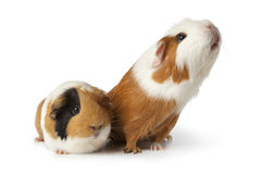 Two cute guinea pigs Royalty Free Stock Image