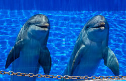 Two cute happy dolphins Royalty Free Stock Images