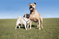 Two cute happy healthy dogs, pug and pitt bull, playing and having fun outside in park on sunny day in spring