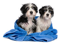Two cute havanese puppies after bath is sitting on a blue towel Stock Photos