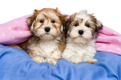 Two cute Havanese puppies are lying in a bed. Two cute little Havanese puppies are lying on a bed under a pink blanket.  on a white background Royalty Free Stock Image