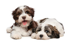 Two cute havanese puppies are lying next to each other Royalty Free Stock Image