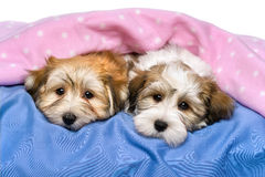 Two cute Havanese puppies are resting in a bed. Two cute little Havanese puppies are resting on a bed under a pink blanket.  on a white background Stock Image