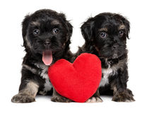Two cute Havanese puppies sitting together with a red heart Royalty Free Stock Image