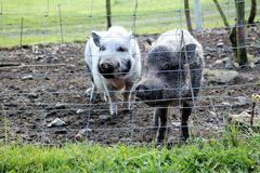 Two cute healthy pigs. Farm animals in a natural environment Royalty Free Stock Photo