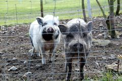 Two cute healthy pigs. Farm animals in a natural environment Royalty Free Stock Images