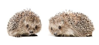 Two cute hedgehogs. Isolated on white background royalty free stock photography