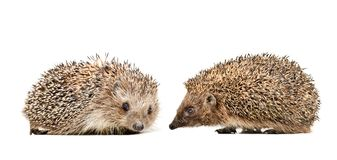 Two cute hedgehogs sitting together. Isolated on white background royalty free stock photos
