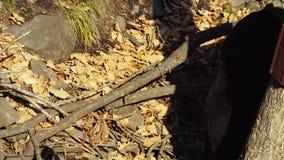 Two cute Himalayan black bears walk around in Primorsky Safari Park, Russia. Two cute Himalayan black bears are walking around in autumn Primorsky Safari Park stock footage