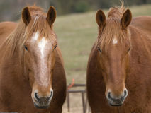 Two Cute Horses Royalty Free Stock Photography