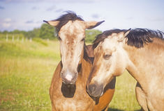 Two cute horses posing Stock Images