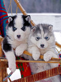 Two cute Husky puppies Stock Photography