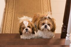 Free Two Cute Identical Shih Tzu Dogs With Bows Posing For The Camera. The Dogs Sit Together Royalty Free Stock Photo - 204812745