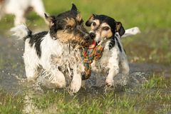 Two cute Jack Russell Terrier dogs playing and fighting with a ball in a water puddle in the snowless winter royalty free stock photos