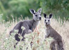 Two cute kangaroos. A kangaroo mother and her young looking at the camera Stock Images
