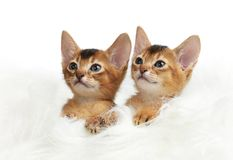 Two cute kitten isolated on white background Royalty Free Stock Photography