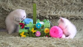 Two cute kitten playing with balls of wool. Threads stock footage