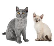 Two cute kitten sitting together Royalty Free Stock Images