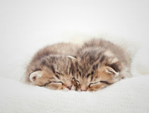 Two cute kitten Stock Images