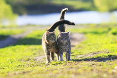 Two cute  kitten walking on green grass next to and caress on a. Two cute striped kitten walking on green grass next to and caress on a summer day Royalty Free Stock Images