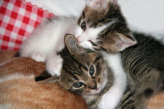 Two cute kittens. Lying on back of parent royalty free stock photos
