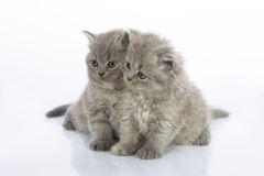 Two cute kittens Royalty Free Stock Images