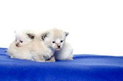 Two cute kittens on blue blanket Royalty Free Stock Photo