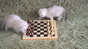 Two cute kittens - grandmasters playing chess on the couch.  stock video footage