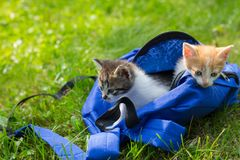 Two cute kittens looking from the bag the first time outdoors. Royalty Free Stock Photo