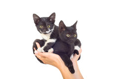Two cute kittens. Sitting in female hands Stock Photo
