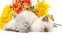 Two cute kittens sleeping Royalty Free Stock Photography