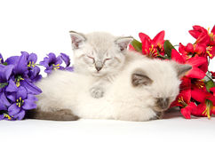 Two cute kittens sleeping Royalty Free Stock Image