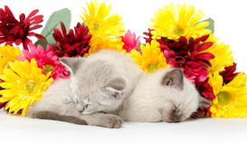 Two cute kittens sleeping Stock Image
