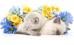 Two cute kittens sleeping Royalty Free Stock Images