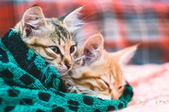 Two cute kittens in a towel.  stock image