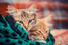 Two cute kittens in a towel.  royalty free stock photos