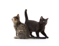 Two cute kittens on white Royalty Free Stock Image