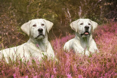 Two cute labrador dog puppies on field with violet flowers Stock Images