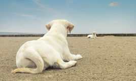 Two cute labrador dog puppies lying on the beach royalty free stock image